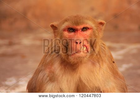 Portrait Of Injured Rhesus Macaque Sitting Near Galta Temple In Jaipur, Rajasthan, India