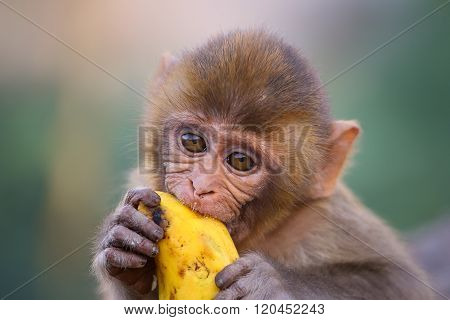 Portrait Of Young Rhesus Macaque Eating Banana