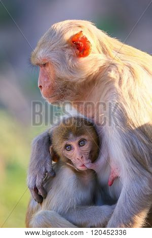 Rhesus Macaque With A Baby Sitting Near Galta Temple In Jaipur, Rajasthan, India