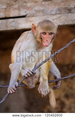 Rhesus Macaque (macaca Mulatta) Playing On A Wire In Jaipur, India
