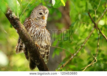 Barred owl (Strix varia) stretching its wing. Barred owl is best known as the hoot owl for its distinctive call poster