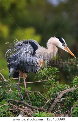 Great Blue Heron Ruffling Its Feathers. It Is The Largest North American Heron.