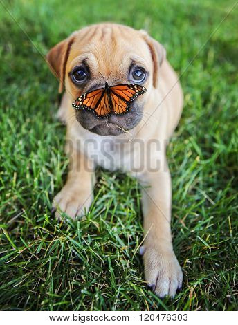 a cute chihuahua pug mix puppy (chug) looking at the camera with with grass in his mouth and a butterfly on his nose in a backyard during summer (SHALLOW DOF - on mouth)