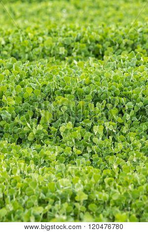 Fresh green Crimson clover (Trifolium incarnatum) field