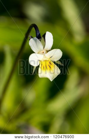 Field Pansy (Viola arvensis) in spring, close up