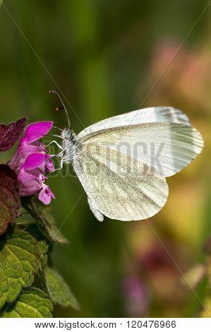 White Butterfly ( Pieris brassicae) on the flower