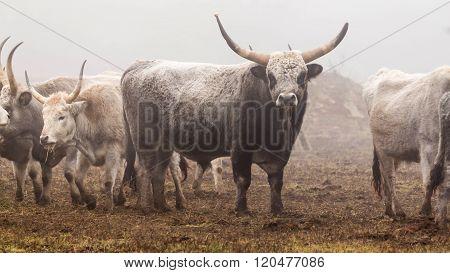 Hungarian grey bull in foggy winter day