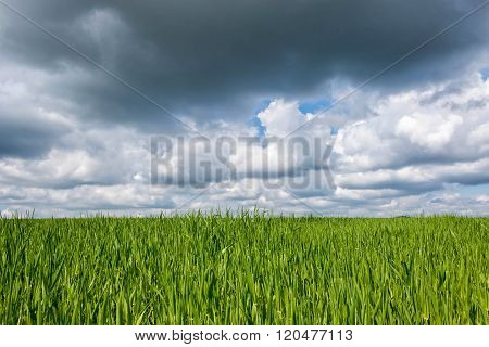 Green cereal field in spring with clouds
