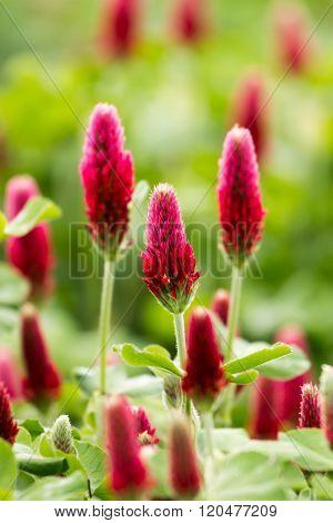 Beautiful Crimson clover flower field close up