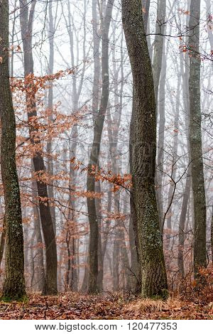 Oak forest at the autumntime in a foggy day