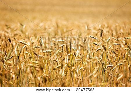 Cereal field with corn in the ear in the summer light