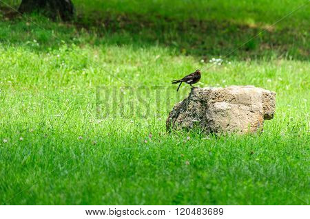 Blackbird On A Rock