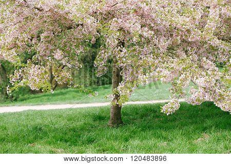 Cherry blossom tree in spring