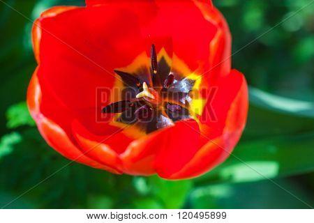 Macro View Of Red Tulip