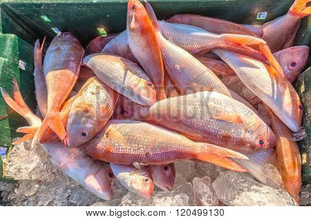Fresh red snapper on ice hold