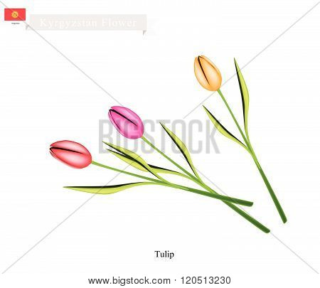 Tulip Flowers, The Popular Flower Of Kyrgyzstan
