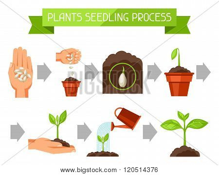 Seedling infographics with phases of plant growth. Image for advertising booklets, banners, flayers