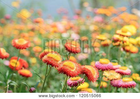 Helichrysum Or Straw Flower