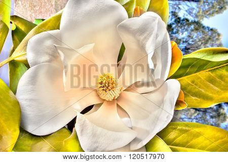 White Magnolia Flower Blossom Close Up With Large White