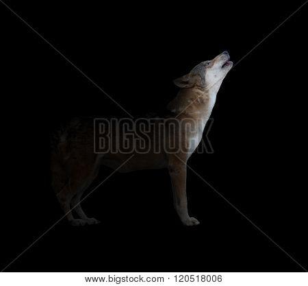 Gray Wolf Howling In Dark Background