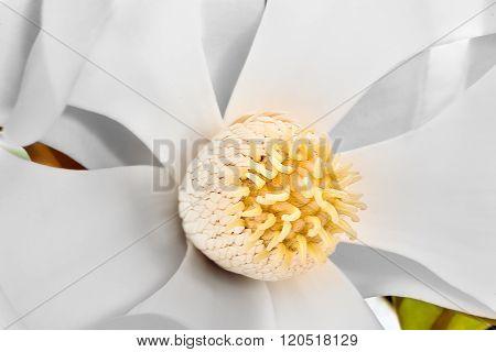 Close Up With Creamy Petals And Magnolia Stigma
