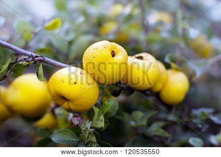 Ecological Chaenomeles Speciosa (rosaceae) Fruits