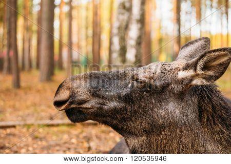 Close up of wild female moose, elk