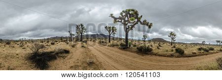 Joshua Trees And Dirt Road  On Stormy Day Panorama