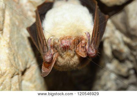 Lesser mouse-eared bat (Myotis myotis in cave