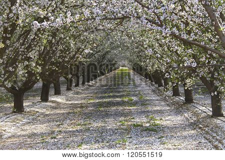 Rows Of Almond Trees Blooming Petals On Ground