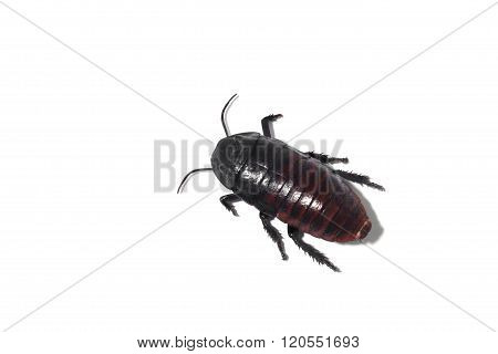 Portrait Of A Cockroach