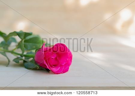 Pink Roses In Valentine Day, Romantic Background