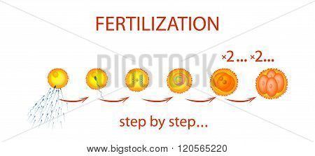 An illustration of the process of fertilization step by step. The text on a separate layer.