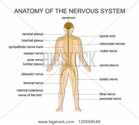 ILLUSTRATION OF THE STRUCTURE OF THE HUMAN NERVOUS SYSTEM