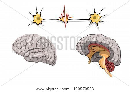 illustration of brain and nerve cells. vector