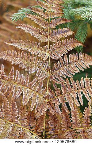 Detail Of Frozen Leaf Fern
