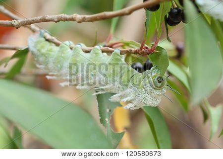 Green Caterpillar Eating Leaf On Tree