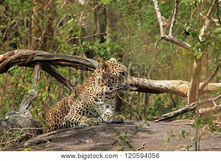 Leopard Resting on Stone