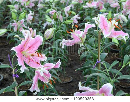 Pink Easter Lily Flower