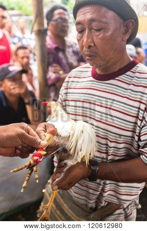 UBUD, BALI / INDONESIA - FEB 22, 2016: Local people during traditional cockfighting competition. Before the competition on natural cock spurs put on an artificial metal with a length of about 4 cm.