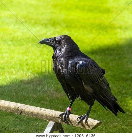 Raven in the Tower of London, UK.  A superstition holds that