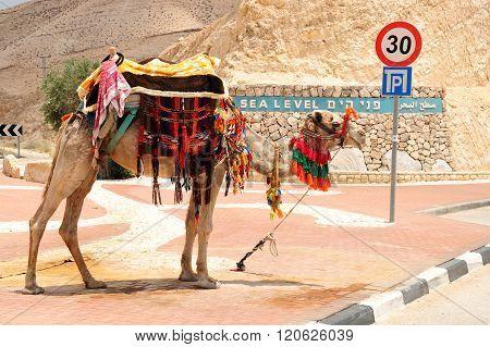 Bedouin camel.