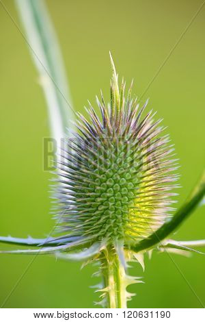 Milk Thistle Bud