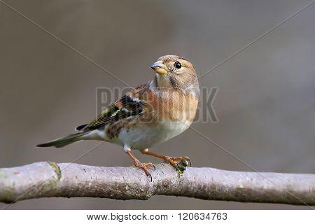 Brambling (fringilla Montifringilla)