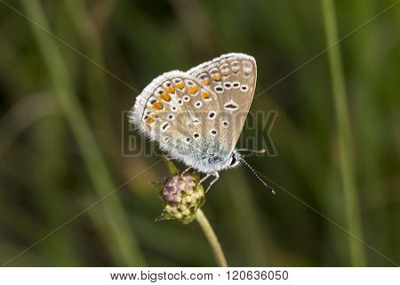 Polyommatus icarus, Common Blue butterfly from Lower Saxony, Germany