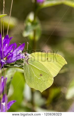 Gonepteryx rhamni, Common Brimstone, Brimstone on Clustered bellflower