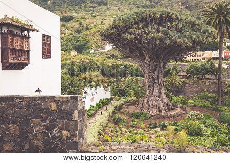 Famous Dragon Tree Drago Milenario In Icod De Los Vinos Tenerife, Canary Islands