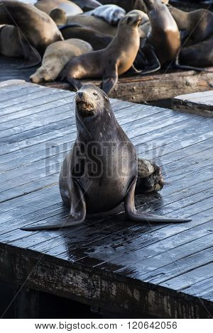 California sea lions (Zalophus californianus) can be found at pier 39 in San Francisco, USA.