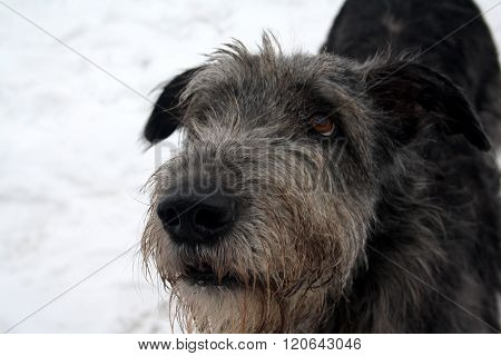 Attentive Irish Wolfhound