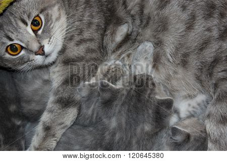 Cat With Kittens Of Scottish Straight